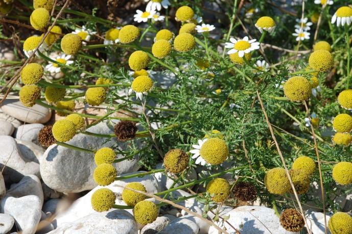 Anthemis altissima 11