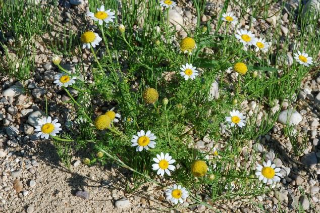 Anthemis altissima 14