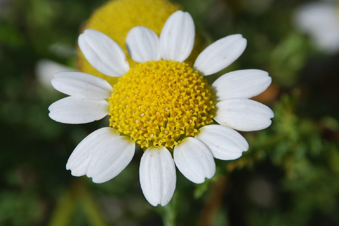 Anthemis altissima 4