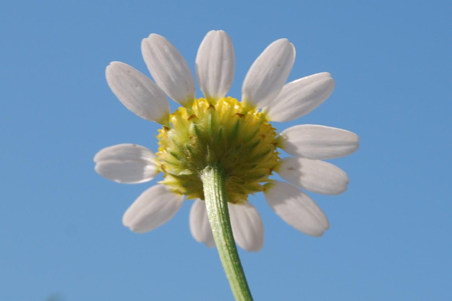 Anthemis altissima 5