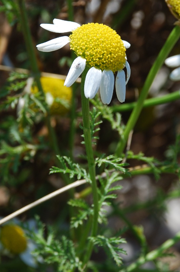 Anthemis altissima