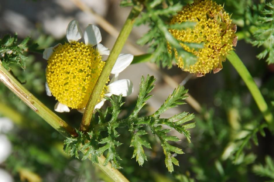 Anthemis altissima 8