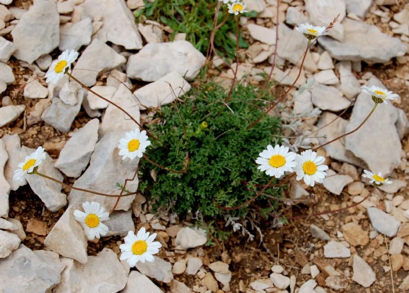 Anthemis carpatica subsp. petraea