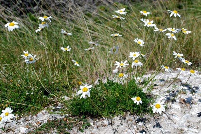 Anthemis carpatica subsp. petraea 2