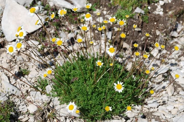 Anthemis carpatica subsp. petraea 3