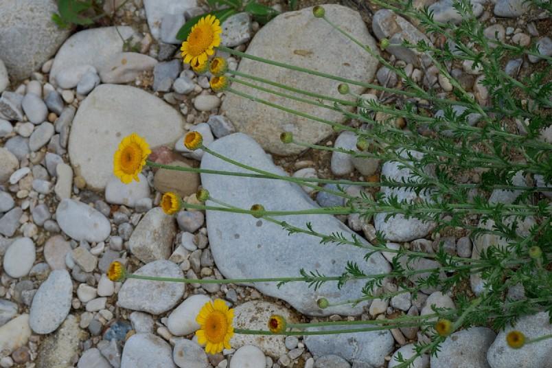 Anthemis tinctoria subsp. tinctoria 11