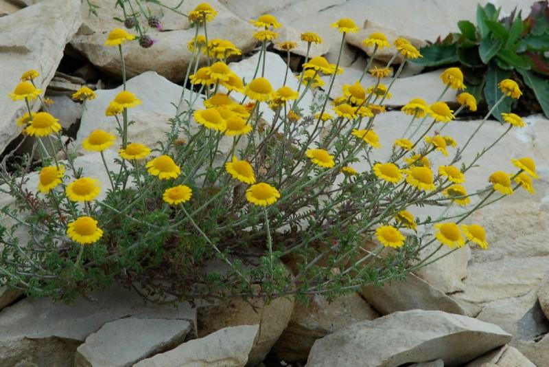 Anthemis tinctoria subsp. tinctoria