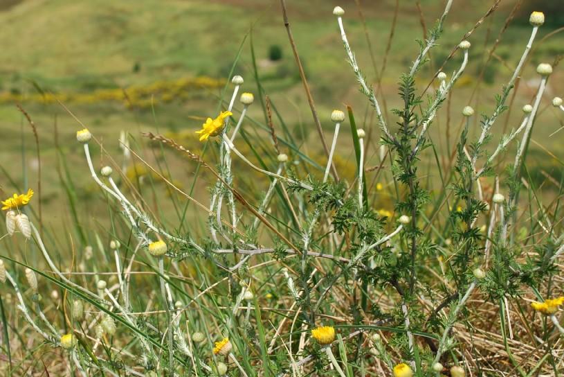 Anthemis tinctoria subsp. tinctoria 4