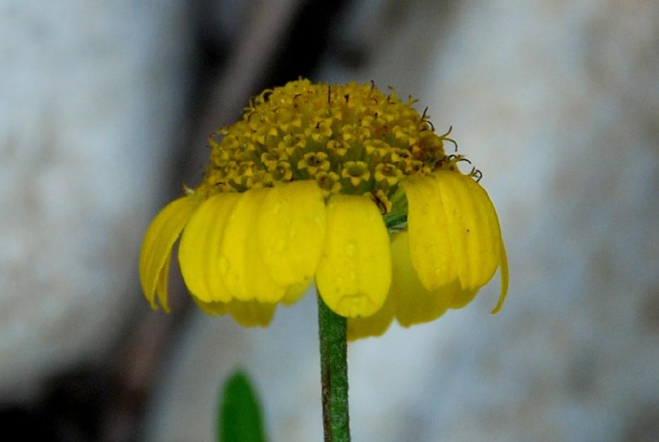 Anthemis tinctoria subsp. tinctoria 6