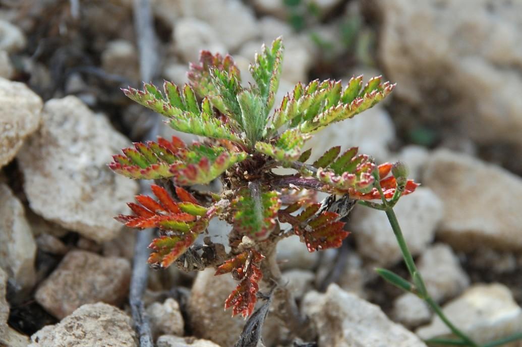 Anthemis tinctoria subsp. tinctoria 7