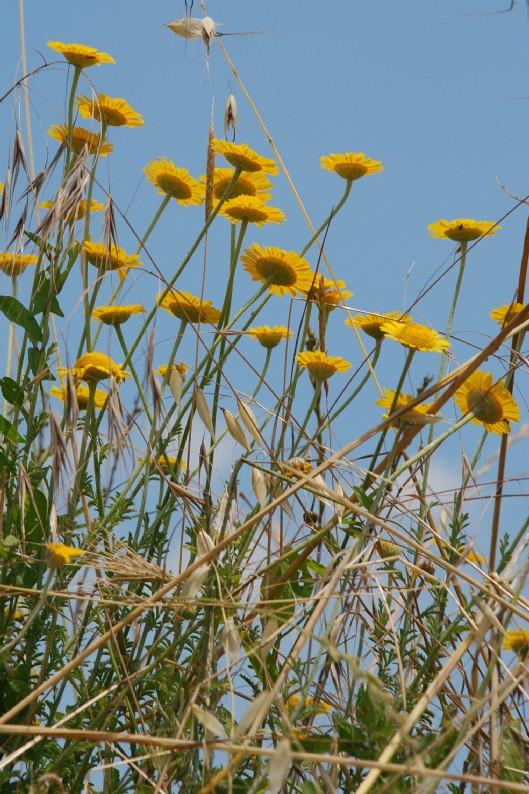 Anthemis tinctoria subsp. tinctoria 8