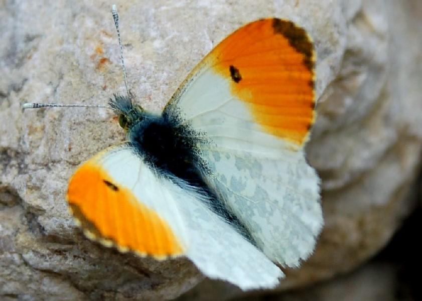 Anthocharis cardamines 2  - Pieridae