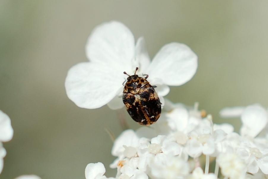 Anthrenus delicatus - Dermestidae