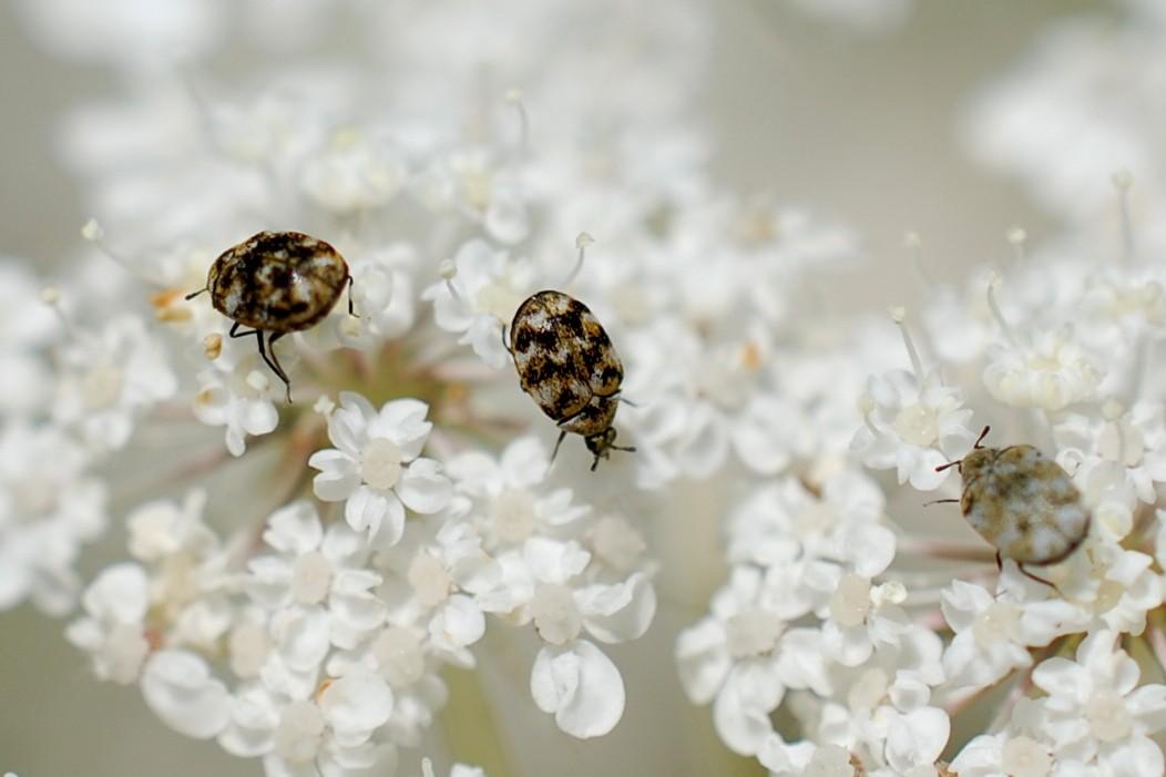 Anthrenus verbasci - Dermestidae