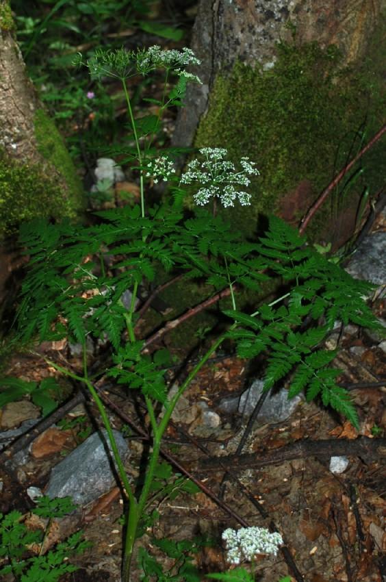 Anthriscus nitidus