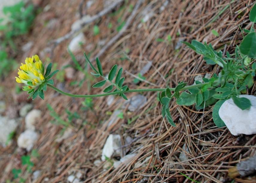 Anthyllis vulneraria (Gruppo) 3