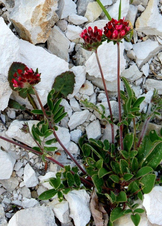 Anthyllis vulneraria (Gruppo)