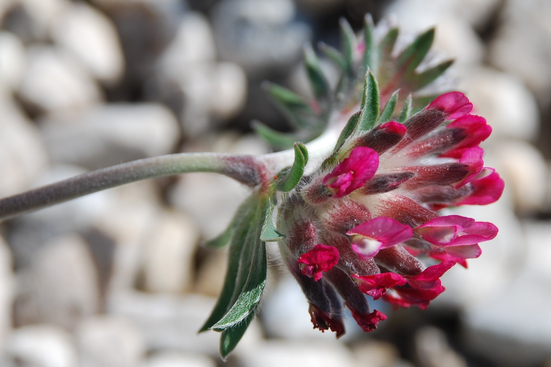 Anthyllis vulneraria subsp. maura 10