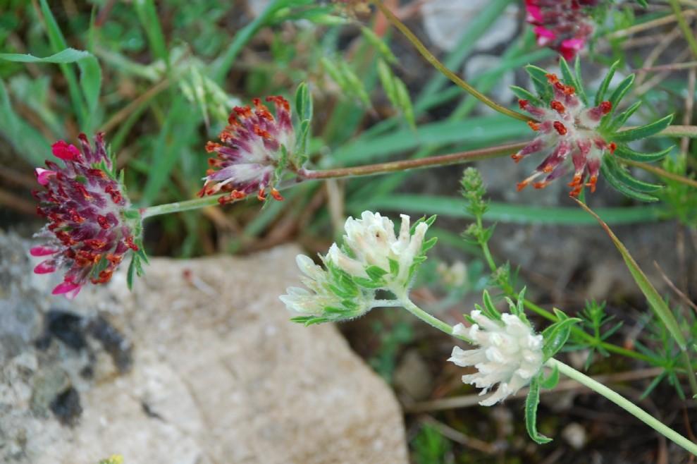 Anthyllis vulneraria subsp. maura 13