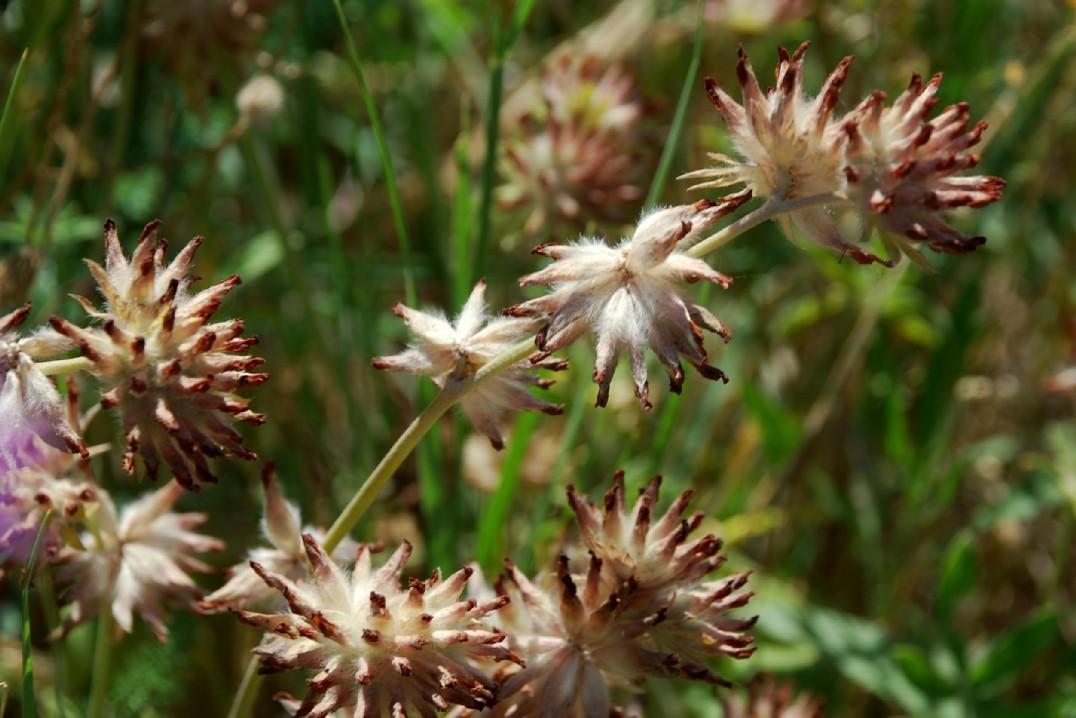 Anthyllis vulneraria subsp. maura 17