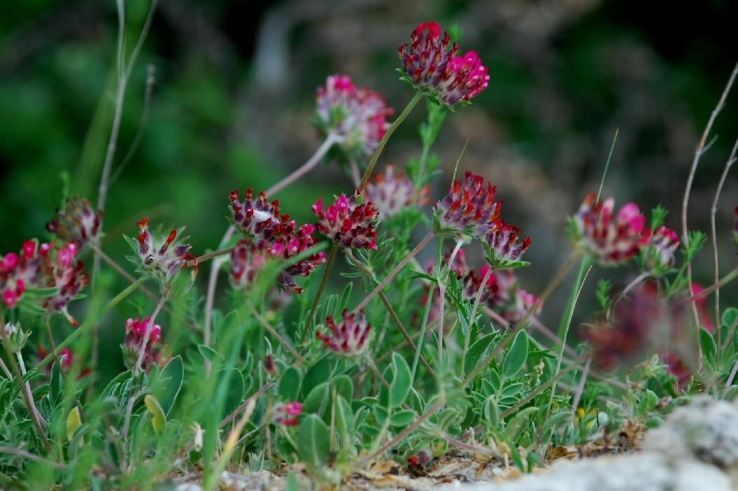 Anthyllis vulneraria subsp. maura 18