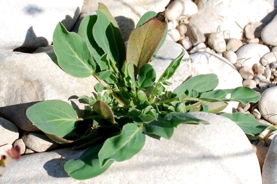 Anthyllis vulneraria subsp. maura 19