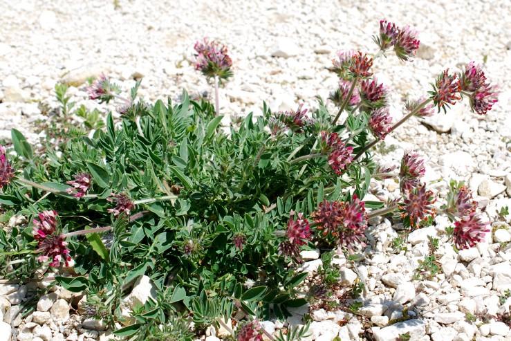Anthyllis vulneraria subsp. maura 21