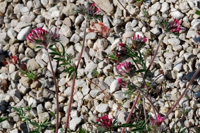 Anthyllis vulneraria subsp. maura 9