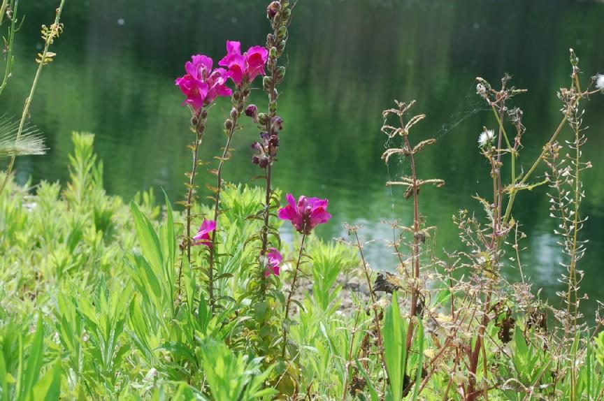 Antirrhinum majus subsp. majus 10