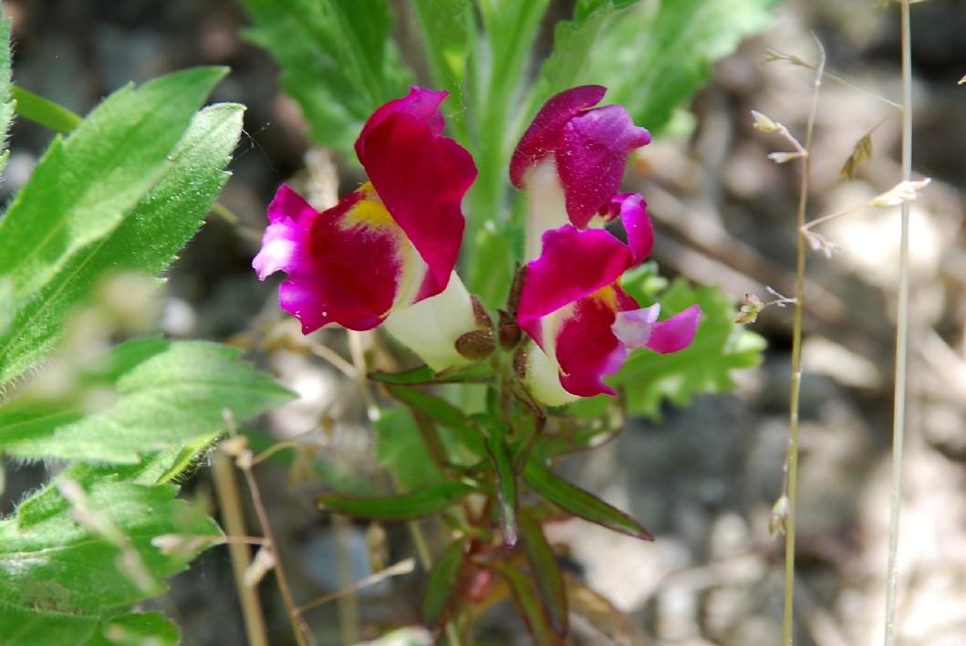 Antirrhinum majus subsp. majus 15