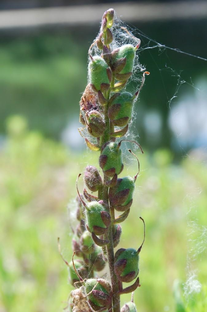 Antirrhinum majus subsp. majus 16
