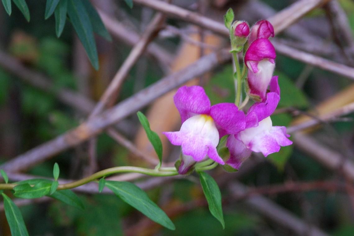 Antirrhinum majus subsp. majus 20
