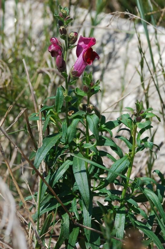 Antirrhinum majus subsp. majus