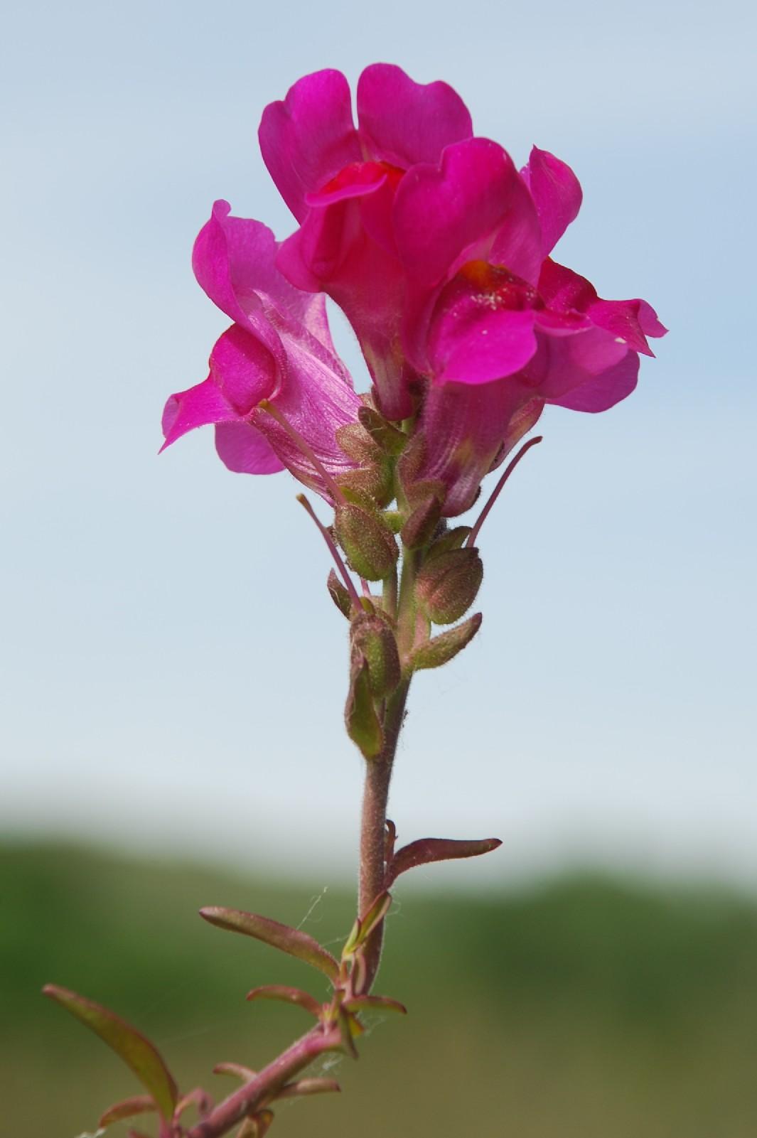 Antirrhinum majus subsp. majus 8