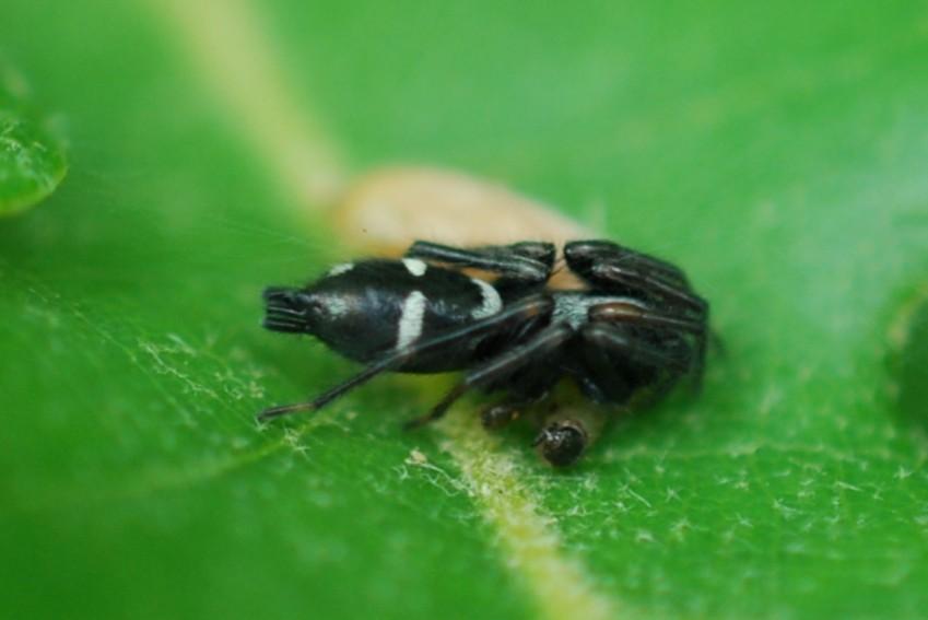 Aphantaulax sp. -  Gnaphosidae