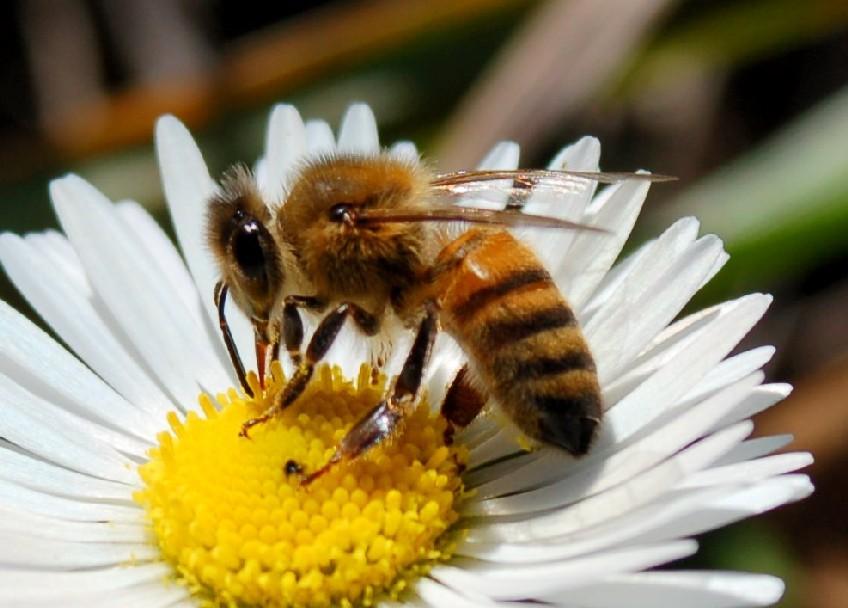 Apis mellifera - Apidae