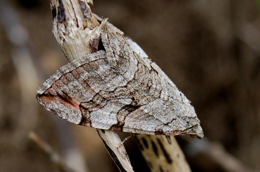 Aplocera plagiata -  Geometridae