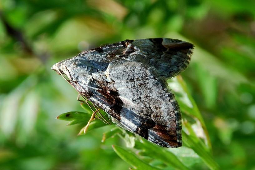 Aplocera praeformata - Geometridae