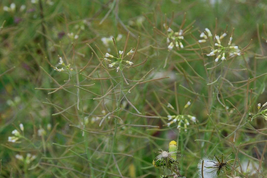 Arabidopsis thaliana 11