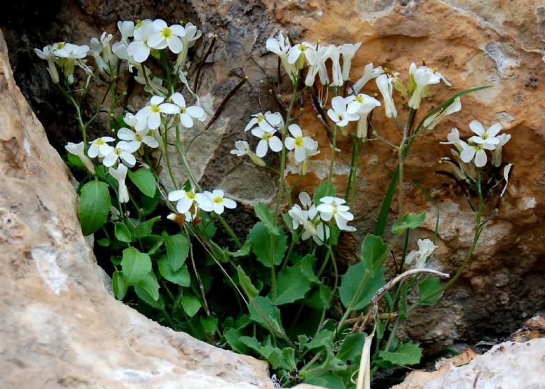 Arabis alpina subsp. caucasica