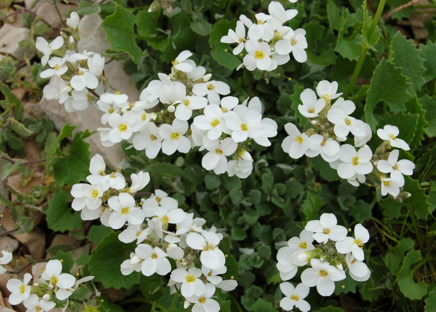 Arabis alpina subsp. caucasica 2
