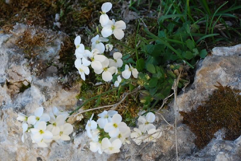 Arabis alpina subsp. caucasica 3