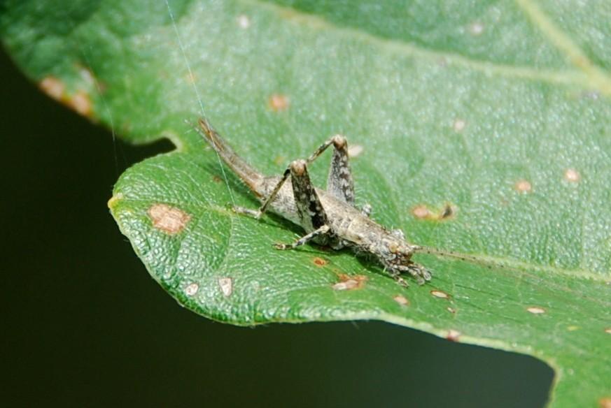 Arachnocephalus vestitus - Mogoplistidae