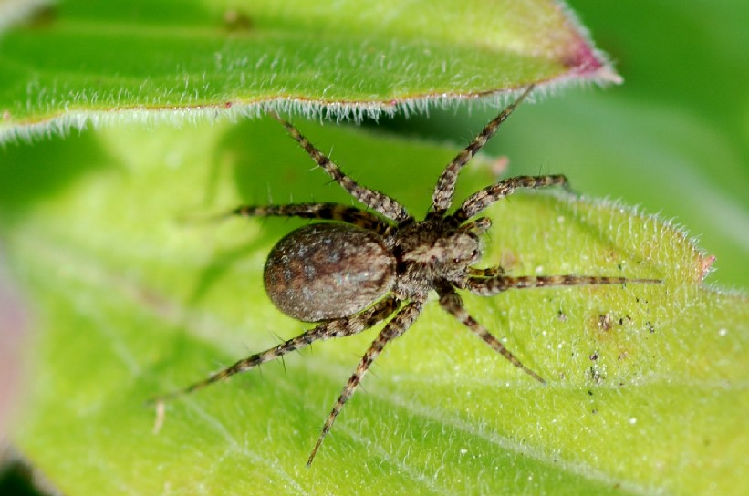 Araneae 1