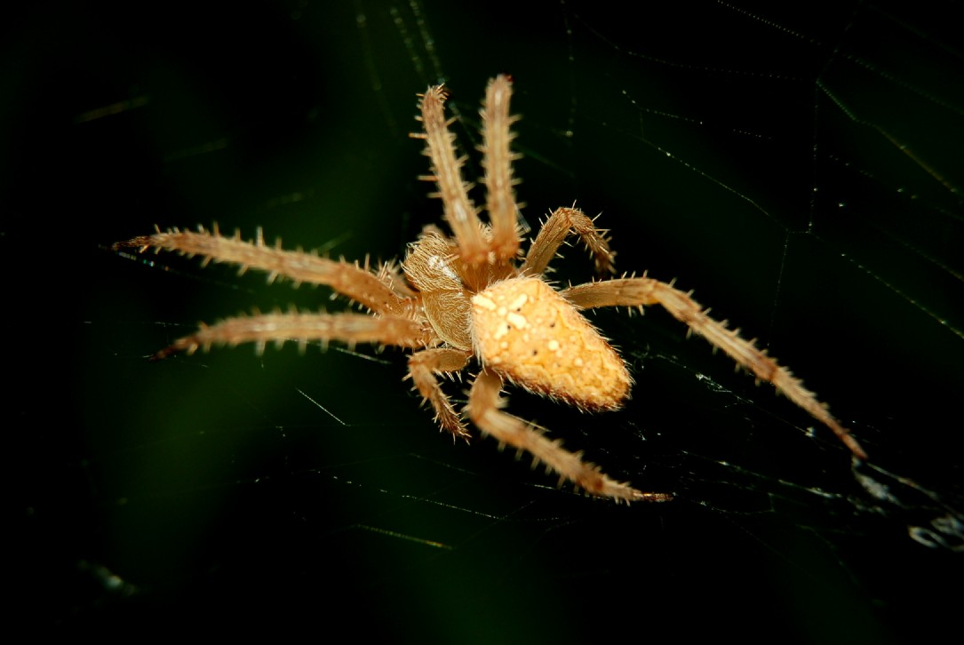 Araneus diadematus - Araneidae