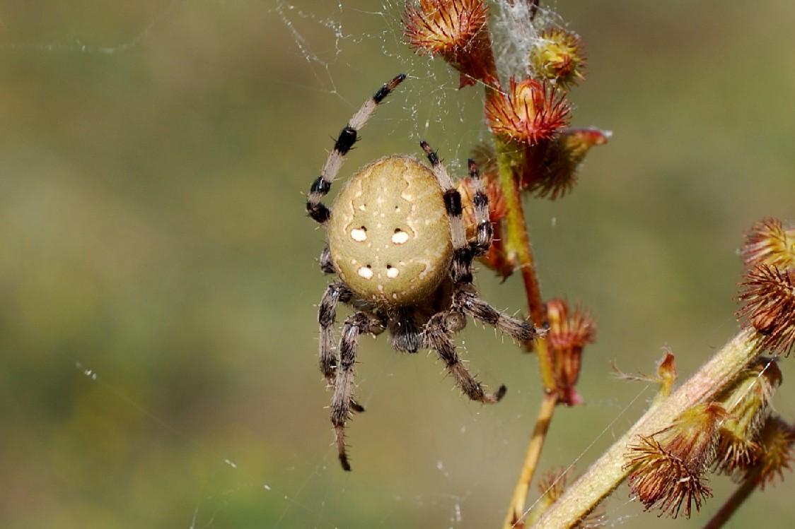 Araneus quadratus - Araneidae