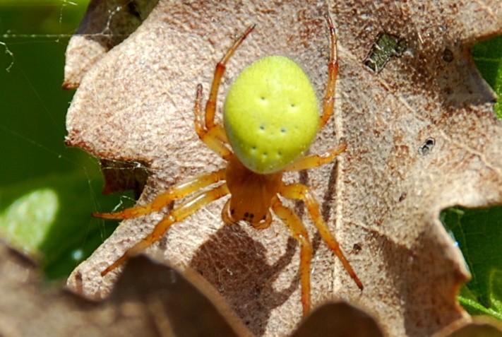 Araniella sp. - Araneidae