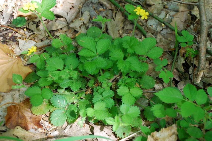 Aremonia agrimonoides subsp. agrimonoides 10
