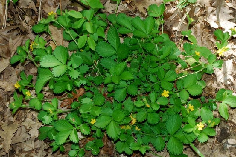 Aremonia agrimonoides subsp. agrimonoides 11