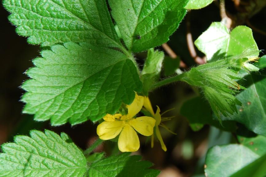 Aremonia agrimonoides subsp. agrimonoides 7